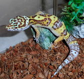 Leopard Gecko. Stock Images