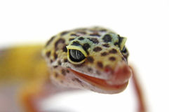Leopard Gecko. Beautiful Leopard Gecko Reptile white background stock images