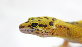 Leopard Gecko. Beautiful Leopard Gecko Reptile white background stock photo