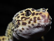 Leopard Gecko with Black and Yellow spots Close Up of Head and Eye stock photo