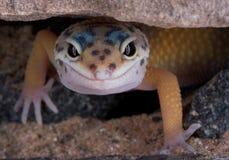 Leopard Gecko, der unter Felsen anstarrt Stockfoto
