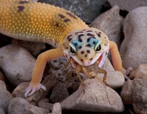 Leopard gecko eating cricket. A young leopard gecko is eating a cricket Royalty Free Stock Photo