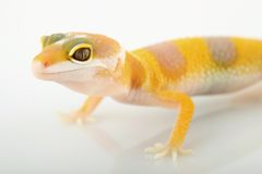 Leopard gecko eublepharis macularius. A little albino leopard gecko Royalty Free Stock Photography