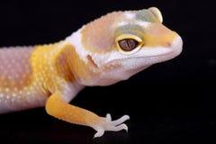 Leopard gecko eublepharis macularius. A little albino leopard gecko Royalty Free Stock Photo