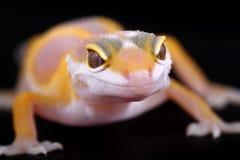 Leopard gecko eublepharis macularius. A little albino leopard gecko Stock Photography