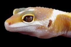 Leopard gecko eublepharis macularius. A little albino leopard gecko Royalty Free Stock Photos