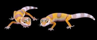 Leopard gecko eublepharis macularius Stock Photos