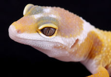 Leopard gecko eublepharis macularius Royalty Free Stock Images