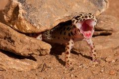 Leopard Gecko eublepharis macularius stockbild