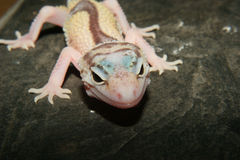 Leopard gecko (Eublepharis macularius) Stock Photo