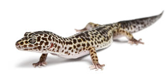 Leopard gecko, Eublepharis macularius Stock Photos