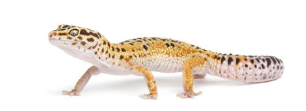 Leopard gecko, Eublepharis macularius Royalty Free Stock Photo