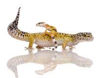 Leopard gecko - Eublepharis macularius Stock Photo