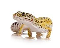 Leopard gecko - Eublepharis macularius Stock Images