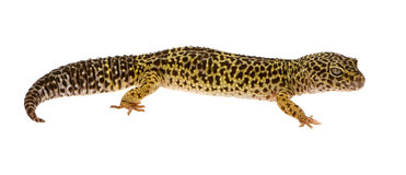 Leopard gecko - Eublepharis macularius Stock Photo