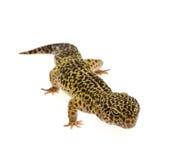 Leopard gecko - Eublepharis macularius Royalty Free Stock Image