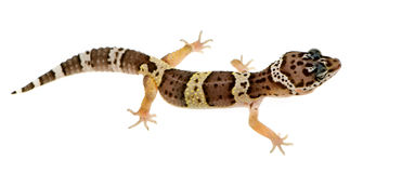 Leopard gecko - Eublepharis macularius Stock Photography
