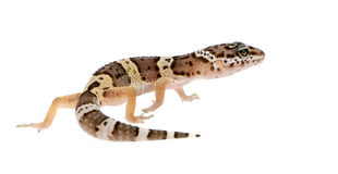 Leopard gecko - Eublepharis macularius Royalty Free Stock Photography