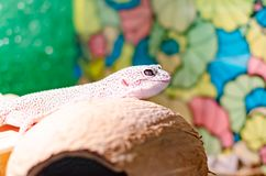 Leopard Gecko Eublepharis macularius . Care and breeding reptiles at home. Leopard Gecko Eublepharis macularius . Exotic animals in the human environment stock photos