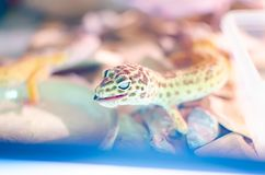 Leopard Gecko Eublepharis macularius . Care and breeding reptiles at home. Leopard Gecko Eublepharis macularius . Exotic animals in the human environment royalty free stock photo