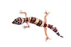 Leopard gecko (Eublepharis macularius) Royalty Free Stock Photography