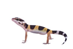Leopard gecko Eublepharis macularius isolated Stock Images