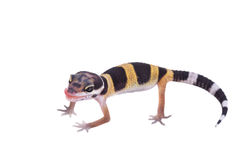 Leopard gecko Eublepharis macularius isolated Stock Photo