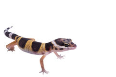 Leopard gecko Eublepharis macularius isolated Royalty Free Stock Photo