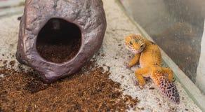 leopard gecko & x28;Eublepharis macularius& x29; lizard on sand stock image