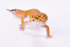 Leopard gecko,Eublepharis macularius. The Leopard gecko,Eublepharis macularius, is one of the most popular pet lizard species in the world. They are being bred Royalty Free Stock Images