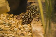 Leopard gecko - Eublepharis macularius Stock Image