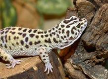 Leopard gecko, Eublepharis macularius. Tropical li Stock Photo