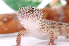 Leopard gecko, Eublepharis. Tropical lizard Royalty Free Stock Image