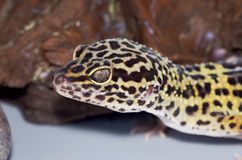 Leopard gecko in front of rock Stock Photography