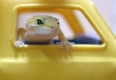 Leopard Gecko Royalty Free Stock Photo