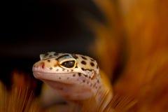 Leopard-Gecko im Makro lizenzfreie stockfotos