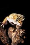 Leopard gecko Stock Photo
