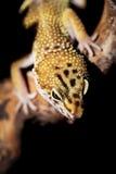 Leopard gecko Stock Photography