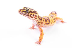 Leopard gecko isolated Royalty Free Stock Photo