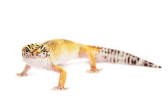 Leopard gecko isolated on white background Royalty Free Stock Photo
