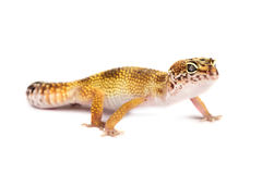 Leopard gecko isolated on white background Royalty Free Stock Images