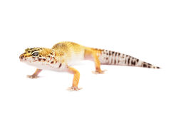 Leopard gecko isolated on white background Royalty Free Stock Photography