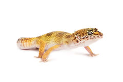 Leopard gecko isolated on white background Stock Image