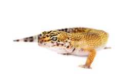 Leopard gecko isolated on white background Royalty Free Stock Photos