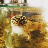 Leopard Gecko. Just a cute little leopard gecko taking a bath. Isn't  Kawaii royalty free stock image