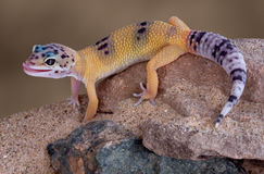 Leopard gecko licking lips. A young gecko is licking its lips while crawling down some rocks Royalty Free Stock Photography