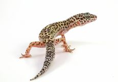 Leopard gecko lizard Stock Images