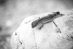 Leopard Gecko lizard on rocks Royalty Free Stock Image
