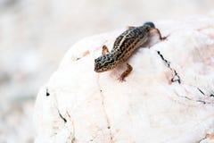 Leopard Gecko lizard on rocks Royalty Free Stock Images
