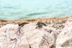 Leopard Gecko lizard on rocks Stock Photography